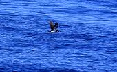 Baillon's Shearwater (Puffinus bailloni) in flight, La Reunion island
