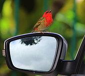 Madagascar Red Fody (Foudia madagascariensis) on the rear-view mirror of a car, Reunion Island