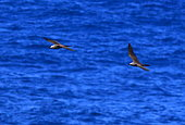 Brown Noddy (Anous stolidus) in flight, La Reunion island