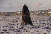 Humpback whale (Megaptera novaeangliae), Tahiti, French Polynesia