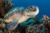 Green turtle (Chelonia mydas), Indonesia
