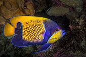 Bluegirdled angelfish (Pomacanthus navarchus), Indonesia