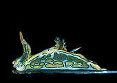 Psychedelic batwing slug (Sagaminopteron psychedelicum), Tahiti, French Polynesia