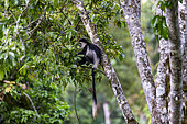 Black & white colobus (Colobus guereza), Kibale National Park, Uganda