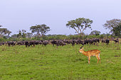 Uganda Kob gather in the rainy season to graze the lush grasslands at Ishasha in the southwest sector of the Queen Elizabeth National Park, with a group of African buffaloes in the background Uganda, Africa