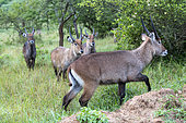 Waterbuck (Kobus ellipsiprymnus) graze the lush grasslands ,Lake Mburo National Park, Uganda, Africa
