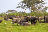 Cape buffalo (Syncerus caffer) gather during the rainy season to graze the lush grasslands at Ishasha in the southwest sector of the Queen Elizabeth National Park, Uganda, Africa