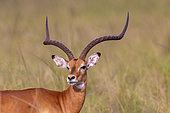 Impala (Aepyceros melampus) graze the lush grasslands, adult male, Lake Mburo National Park, Uganda, Africa