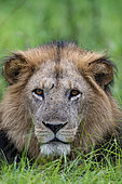 Lion (Panthera leo) adult male lying in the grass at Ishasha in the southwest sector of the Queen Elizabeth National Park, Uganda, Africa