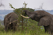 Elephant (Loxodonta africana) gather in the rainy season to graze the lush grasslands at Ishasha in the southwest sector of the Queen Elizabeth National Park, Uganda, Africa
