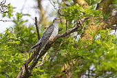 African Cuckoo (Cuculus gularis), perched in a tree, Ishasha Sector, Queen Elizabeth National Park, Uganda, Africa