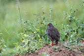 Francolin à gorge rouge (Pternistis afer), posé sur une motte de terre, Parc national du lac Mburo, Ouganda
