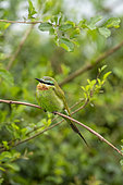 Blue-cheeked Bee-eater (Merops persicus), perched on a rod, Ishasha Sector, Queen Elizabeth National Park, Uganda, Africa