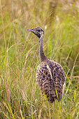 Black-bellied Bustard (Lissotis melanogaster), adult female, Ishasha Sector, Queen Elizabeth National Park, Uganda