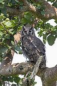 Verreaux's Eagle-Owl (Bubo lacteus), perched in a tree, Ishasha Sector, Queen Elizabeth National Park, Uganda