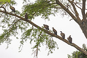 White-backed Vulture (Gyps africanus) , perched on a tree, Ishasha Sector, Queen Elizabeth National Park, Uganda, Africa