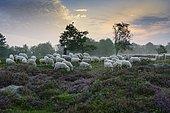 Shepherd with a flock of sheep in the heath at sunrise, heathland at the Thülsfeld dam, Lower Saxony, Germany, Europe
