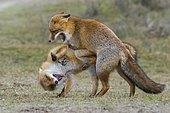 Red foxes (Vulpes vulpes) two males in winter coat, fighting, Ranz, Netherlands