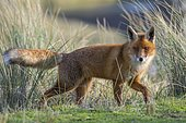 Red fox (Vulpes vulpes) in winter coat, laced between high grass, Netherlands