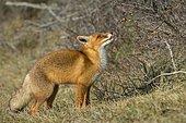 Red fox (Vulpes vulpes) eats fruit on the sea buckthorn bushes, Netherlands