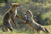 Red fox (Vulpes vulpes) fighting, Netherlands