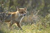 Red fox (Vulpes vulpes) Portrait, Netherlands