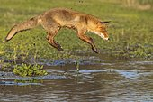 Red fox (Vulpes vulpes), Young fox jumps over a water body, Jump, Action, Netherlands