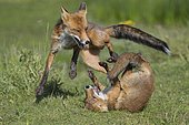 Foxes (Vulpes vulpes) fighting with their mouths open, playful, Netherlands