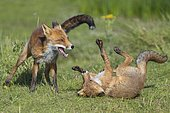 Red foxes (Vulpes vulpes), Kittens fighting with their mouths open, playful, Netherlands