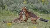 Red foxes (Vulpes vulpes)Young foxes playfully fight with their mouths open, Netherland