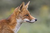 Red fox (Vulpes vulpes) secures, Portrait, Netherlands
