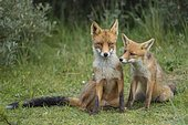 Red foxes (Vulpes vulpes), Mother with young, sitting side by side, young fox, Netherlands