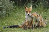 Red foxes (Vulpes vulpes), Mother and young animal, sitting next to each other, sniffing each other, young fox, Netherlands