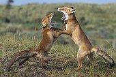 Red fox (Vulpes vulpes), play fighting, Netherlands