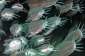 Catfish, Secret Bay Dive Site, Gilimanuk, Bali Island, Indonesia