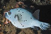 Blackspotted Puffer (Arothron nigropunctatus), Usat Liberty Wreck Dive Site, Tulamben, Bali Island, Indonesia