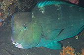 Green humphead parrotfish (Bolbometopon muricatum), Usat Liberty Wreck Dive Site, Tulamben, Bali Island, Indonesia
