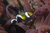Clownfish and its Sea Anemone, Diving in Tulamben, Bali Island, Indonesia