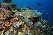 Green sea turtle (Chelonia mydas) on reef, Nusa Penida dive site, Sental, Bali.