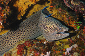 Spotted Moray (Gymnothorax meleagris) in reef, Nusa Penida dive site, Sental, Bali.