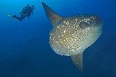 Ocean sunfish (Mola mola) and diver deep water Bali, Nusa Penida dive site, Blue Corner, Bali.