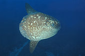 Ocean sunfish (Mola mola) deep water Bali, Nusa Penida dive site, Blue Corner, Bali.