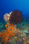 Crinoids, Nusa Penida dive site, Blue Corner, Bali.