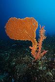 Sea fan and coral, Nusa Penida dive site, Blue Corner, Bali.