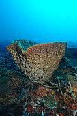Barrel Sponge (Xestospongia testudinaria) on reef, Nusa Penida dive site, Sental, Bali.