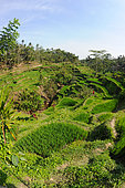 Tegallalang terraced rice field, Ubud region, Bali Island, Indonesia