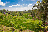 Rice terrace, South Sector of Taman Ayun, Bali Island, Indonesia