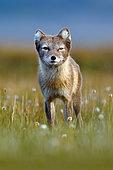 Arctic Fox (Vulpes lagopus) adult in green meadow, Svalbard, Norway