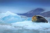 Bearded Seal (Erignathus barbatus) solitary adult on pack ice, Svalbard, Norway
