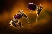 Dane's Blood (Pulsatilla vulgaris) flowering in beautiful evening sunlight, Germany